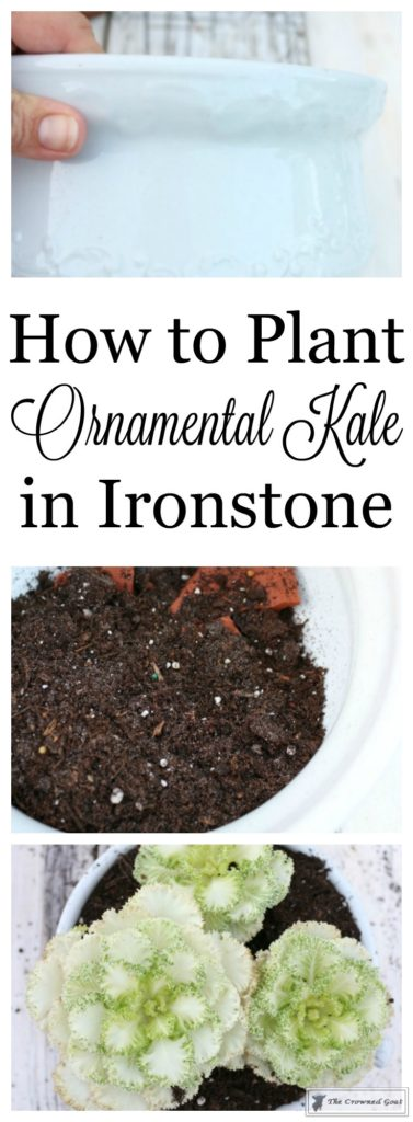ornamental-kale-in-ironstone-1