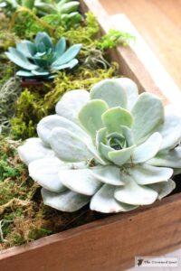 Spring Succulent Centerpiece-7